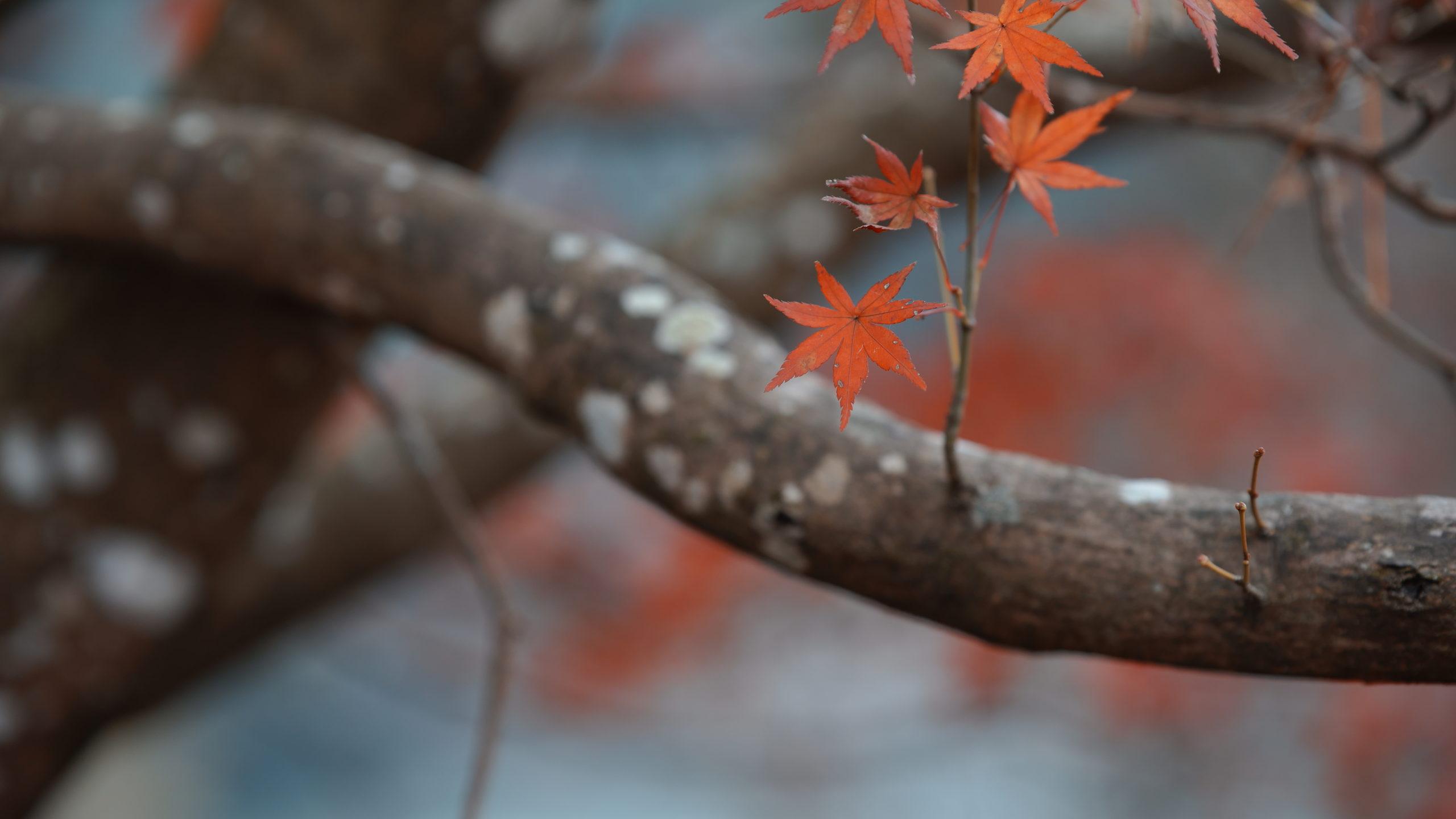 曽木の滝公園の紅葉ーもみじ